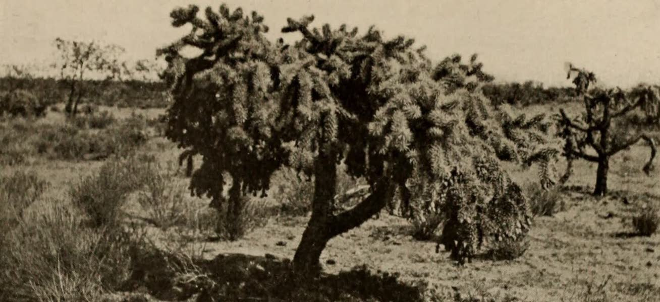Arizona, The Wonderland - Cholla, Yucca, and Prickly Pear, found Growing on the Arid Lands of Arizona (1917)