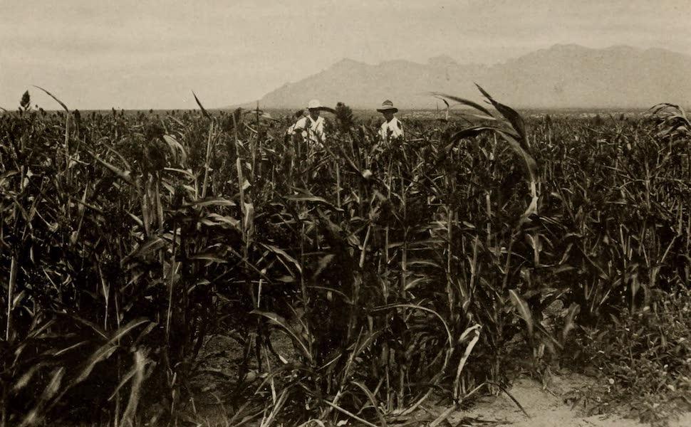 Arizona, The Wonderland - A Field of Milo Maize, on the Tucson Farms, Arizona (1917)