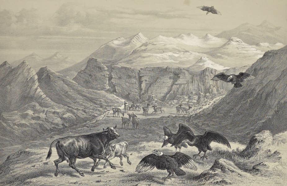 Atlas de Historia fisica y Politica de Chile Vol. 1 - Ternero Atacado por los Condores cerca del Volcan de San Jose (1854)