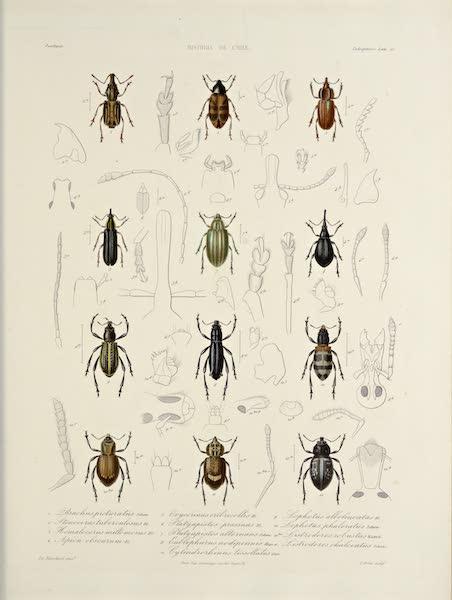 Atlas de Historia fisica y Politica de Chile Vol. 2 - Natural History Plate (1854)