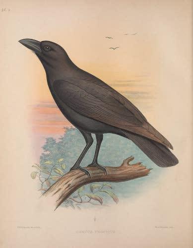 Corvus tropicus
