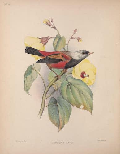 Ciridops anna