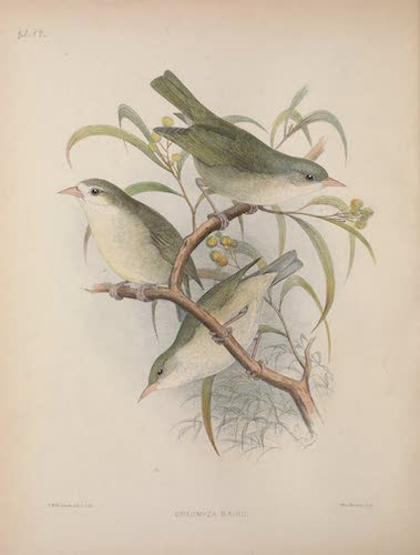 Oreomyza bairdi