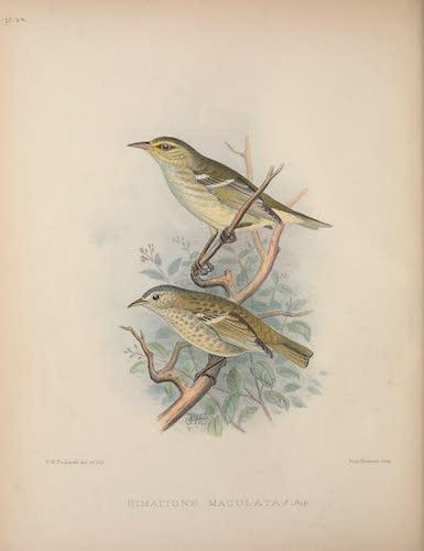 Himatione maculata