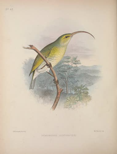 Hemignathus lichtensteini