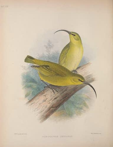 Hemignathus obscurus