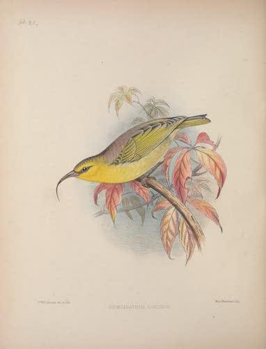 Hemignathus lucidus