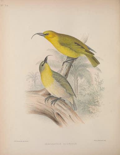 Hemignathus olivaceus