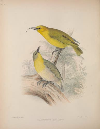 Aves Hawaiienses : the Birds of the Sandwich Islands - Hemignathus olivaceus (1890)