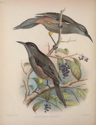 Acrulocercus braccatus
