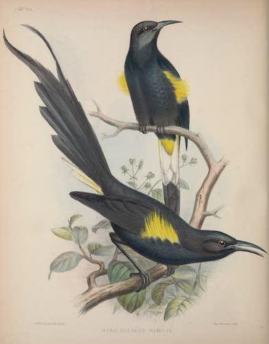 Acrulocercus nobilis