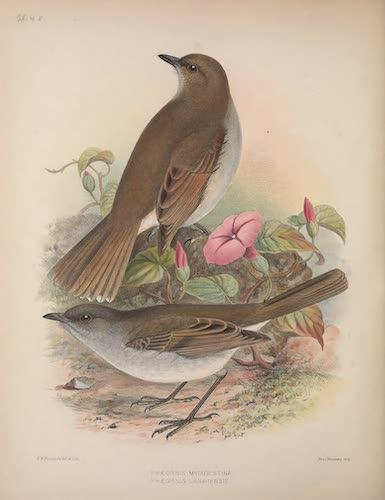 Phaeornis myiadestina and P. lanaiensis