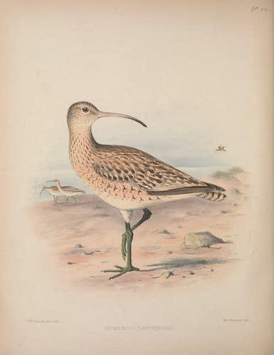 Numenius tahitiensis