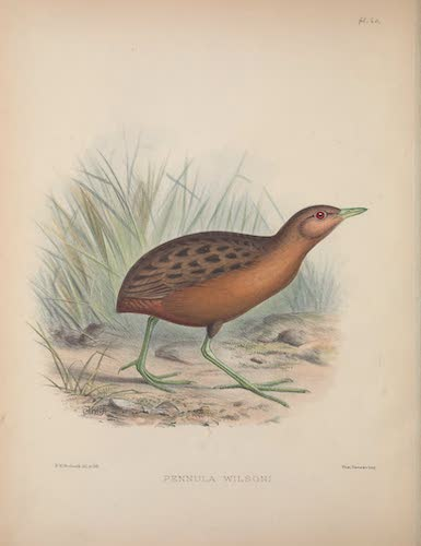 Pennula wilsoni