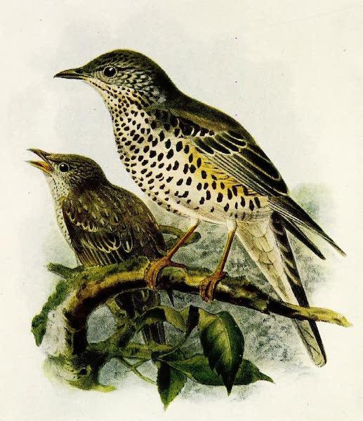 Birds of Britain - Missel Thrush (1907)