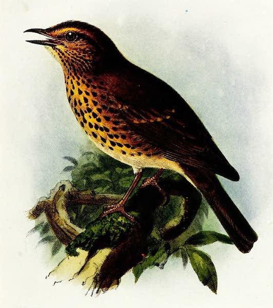 Birds of Britain - Song Thrush (1907)