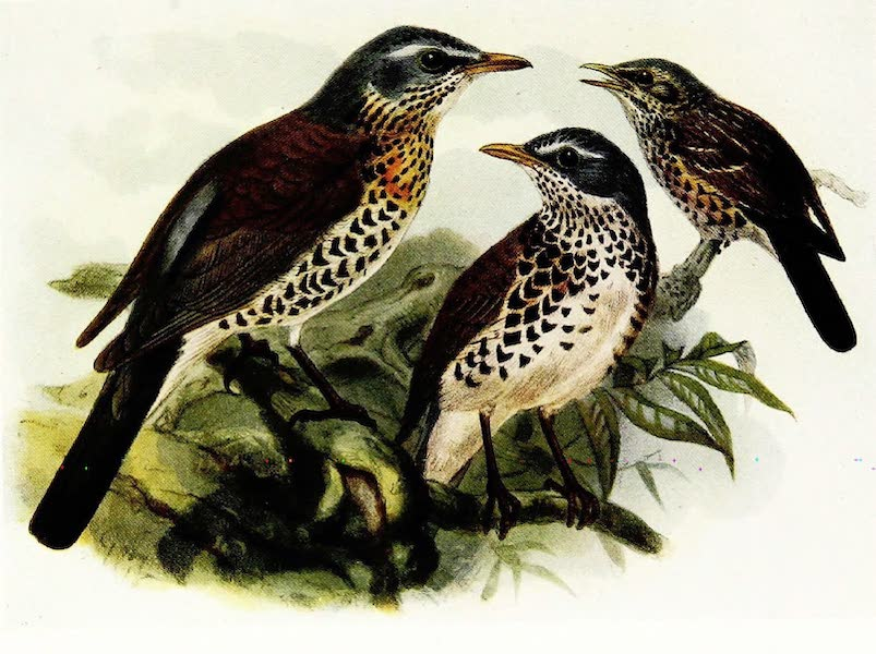 Birds of Britain - Fieldfare (1907)