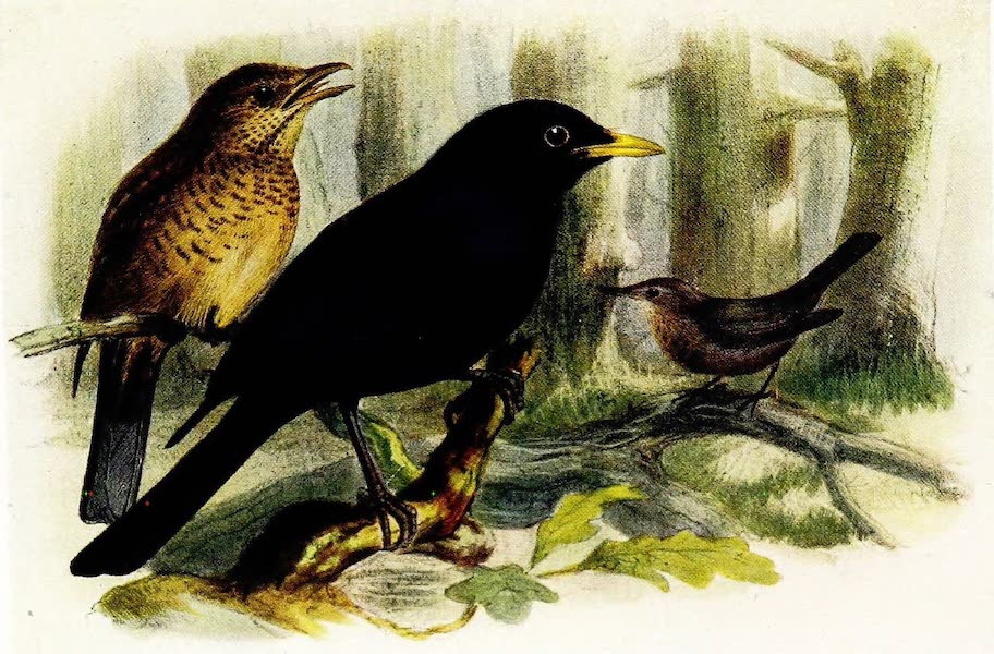 Birds of Britain - Blackbird (1907)