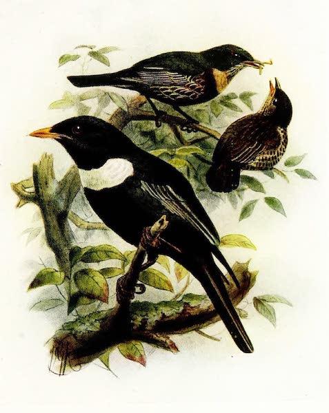 Birds of Britain - Ring Ouzel (1907)