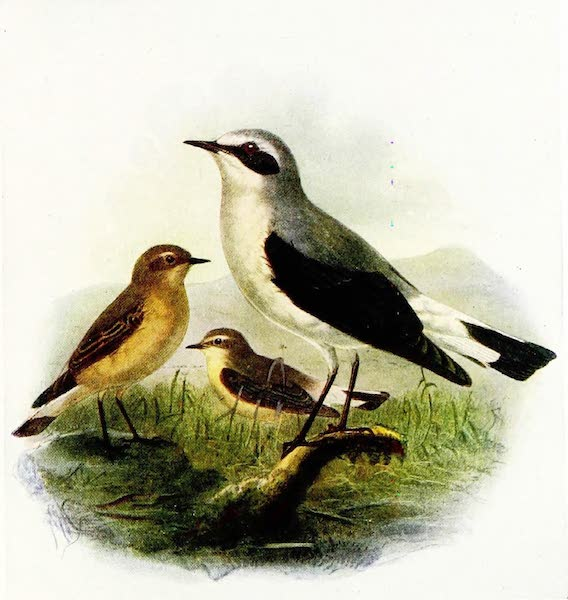 Birds of Britain - Wheatear (1907)