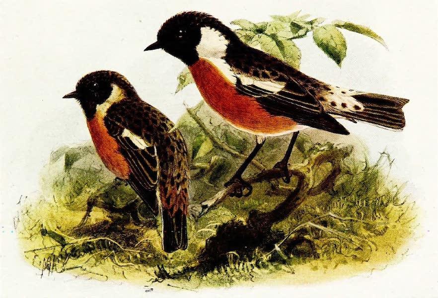 Birds of Britain - Stonechat (1907)