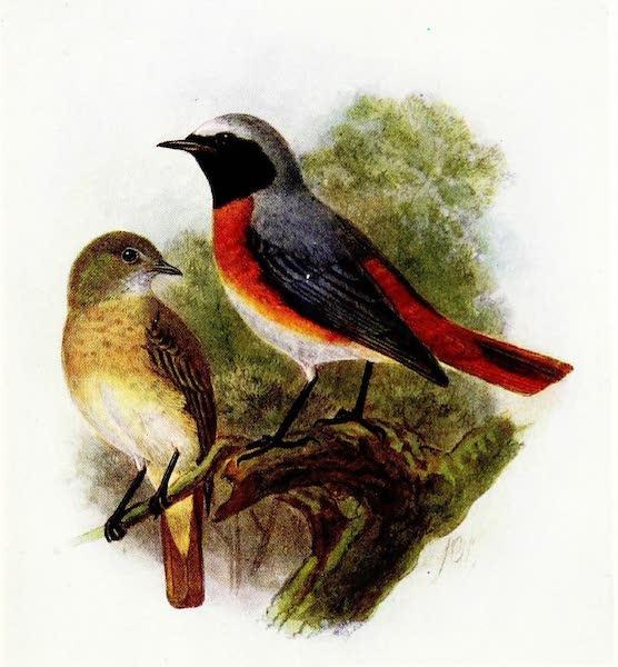 Birds of Britain - Redstart (1907)