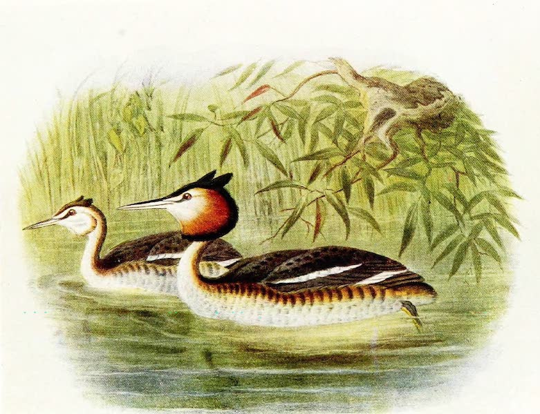 Birds of Britain - Great-crested Grebe (1907)