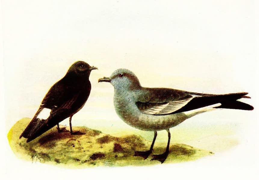 Birds of Britain - Storm Petrel and Leach's Petrel (1907)