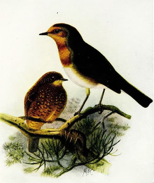 Birds of Britain - Robin (1907)