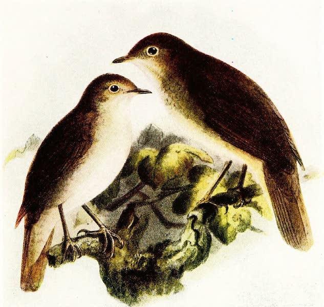 Birds of Britain - Nightingale (1907)