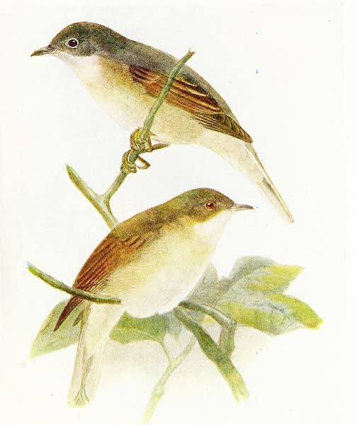 Birds of Britain - Whitethroat (1907)