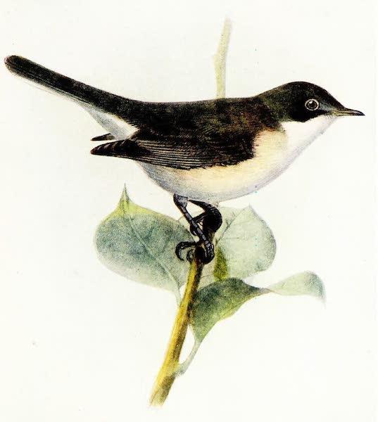 Birds of Britain - Lesser Whitethroat (1907)