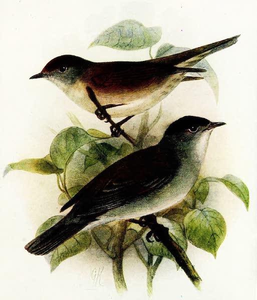 Birds of Britain - Blackcap (1907)