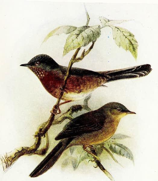 Birds of Britain - Dartford Warbler (1907)