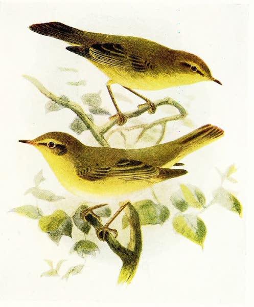 Birds of Britain - Chiffchaff and Willow Wren (1907)