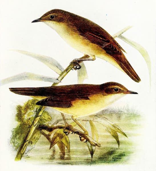 Birds of Britain - Reed Warbler and Marsh Warbler (1907)
