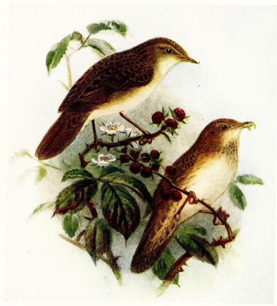 Birds of Britain - Grasshopper Warbler (1907)