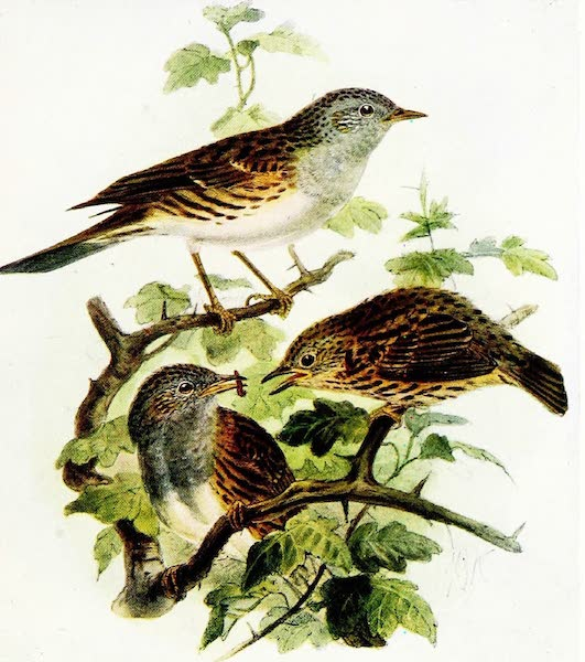 Birds of Britain - Hedge Accentor (Hedge Sparrow) (1907)