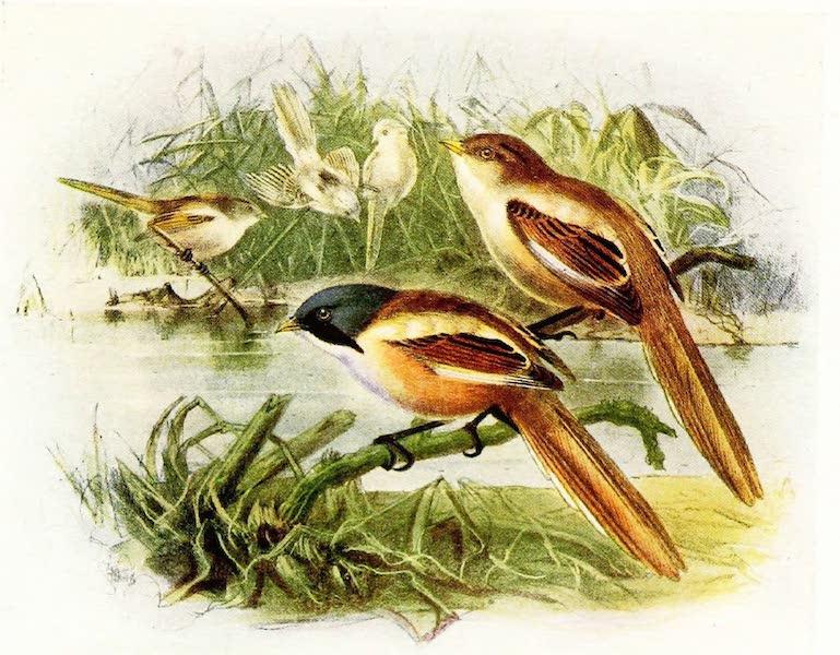 Birds of Britain - Bearded Reedling (1907)