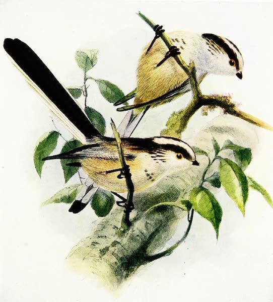 Birds of Britain - Long-tailed Tit (1907)