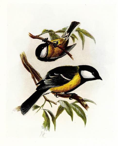 Birds of Britain - Great Tit (1907)