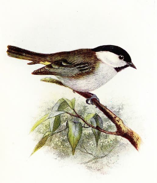 Birds of Britain - Marsh Tit (1907)