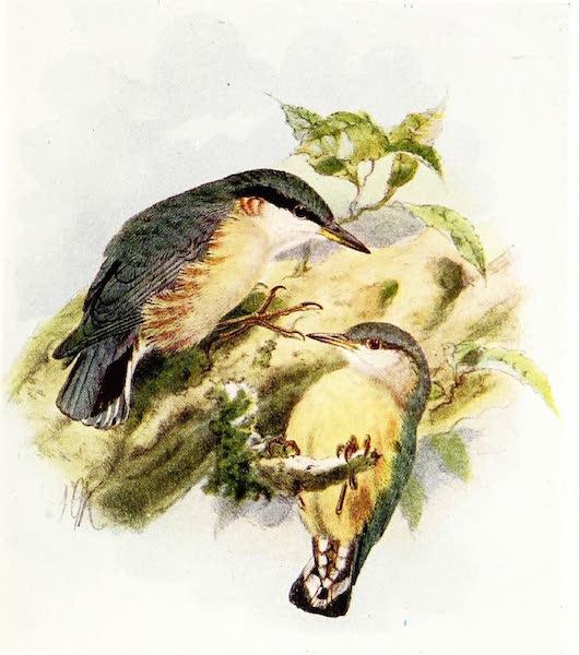 Birds of Britain - Nuthatch (1907)
