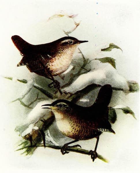 Birds of Britain - Common Wren (1907)