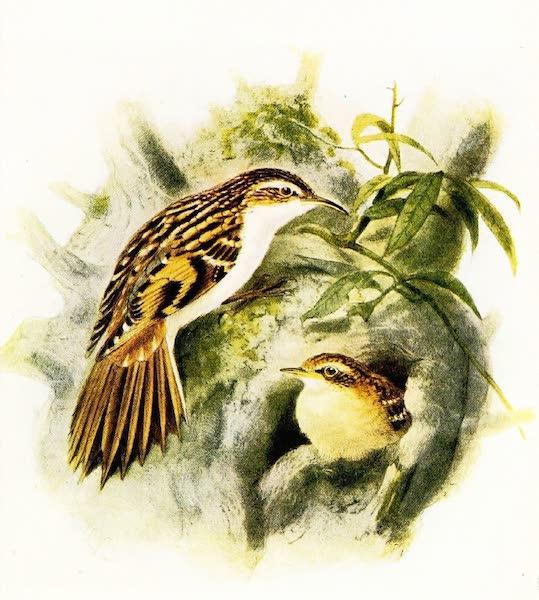 Birds of Britain - Tree-Creeper (1907)