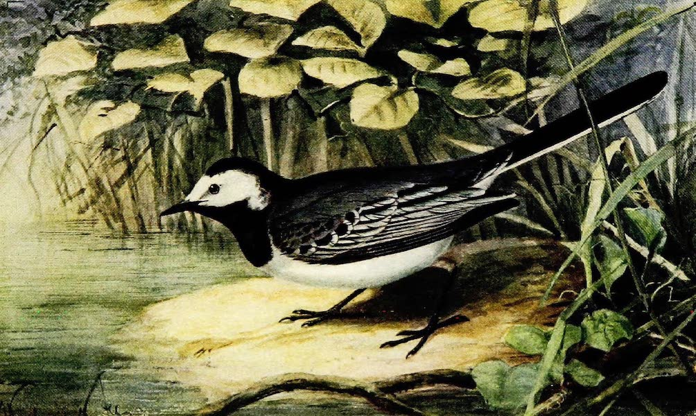 Birds of Britain - Pied Wagtail (1907)