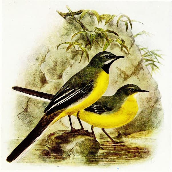Birds of Britain - Grey Wagtail (1907)