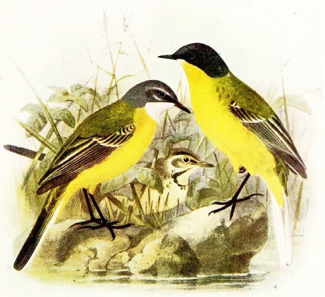 Birds of Britain - Blue-headed Wagtail (1907)