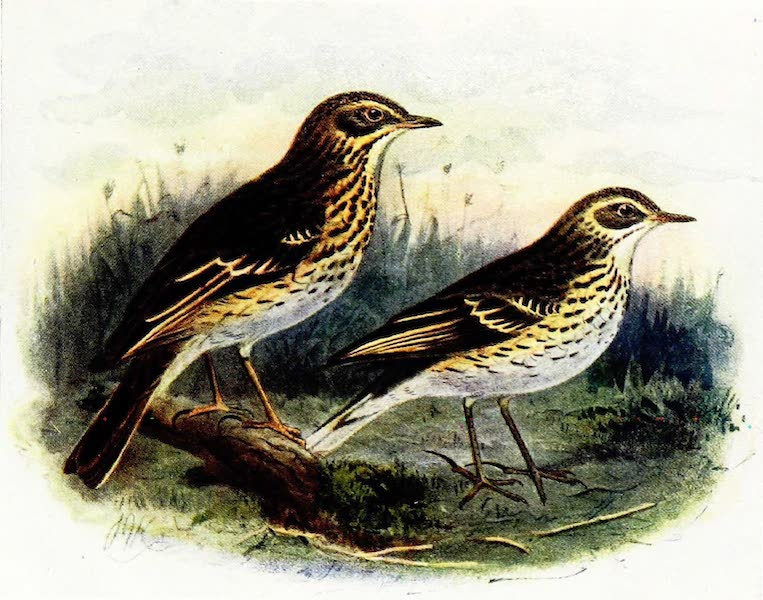 Birds of Britain - Tree Pipit and Meadow Pipit (1907)
