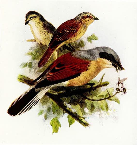 Birds of Britain - Red-backed Shrike (1907)